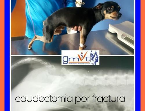 Caudectomía por fractura