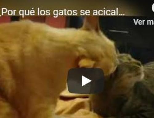 ¿Por qué los gatos se acicalan?