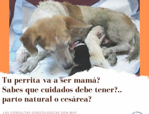 ¿Tu perrita va a ser mama?